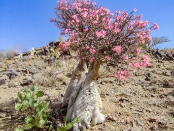 Blühender Elefantenfußbaum