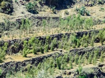 Qat-Plantage auf Terrassenfeldern in den Bergen