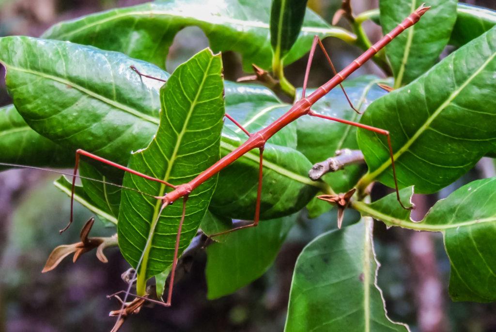 Stabschrecke - ein auf den Seychellen vorkommendes Insekt