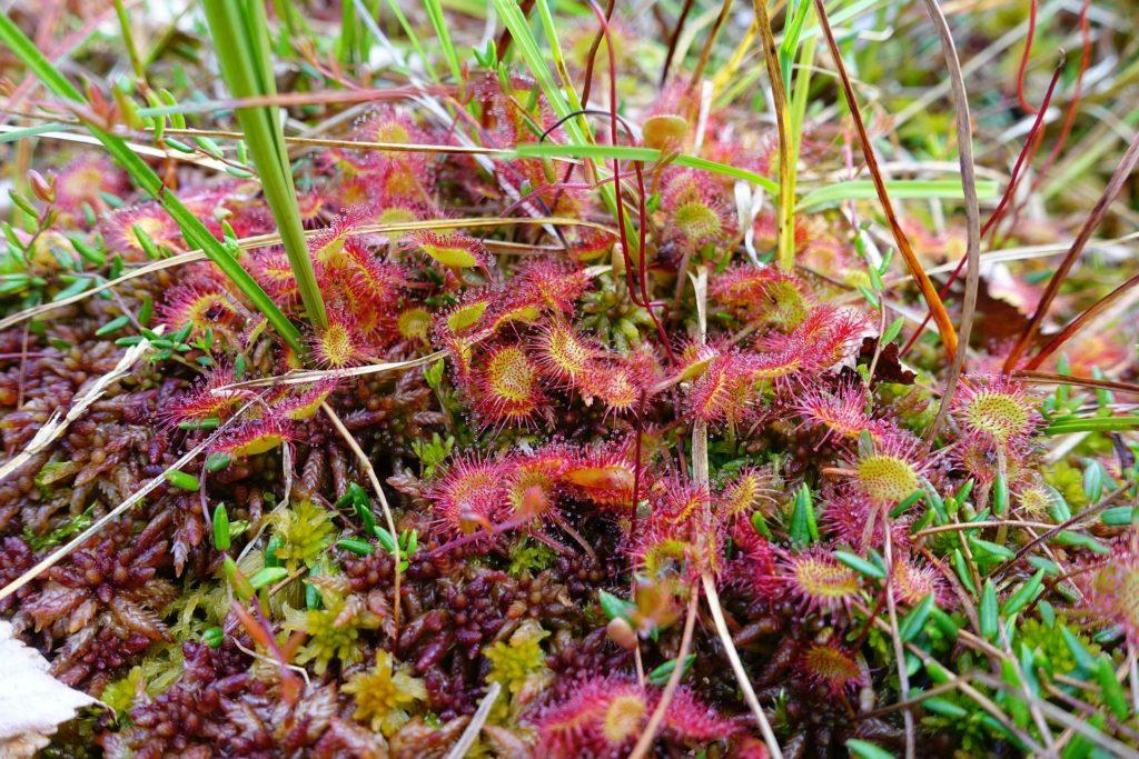Drosera rotundifoloie - Rundblättriger Sonnentau beim Dynjandi Fall