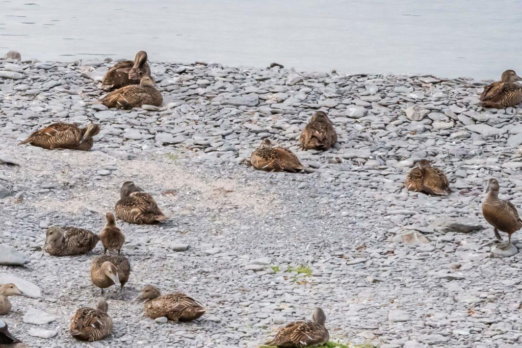 Eiderenten am Ufer der Insel Vigur