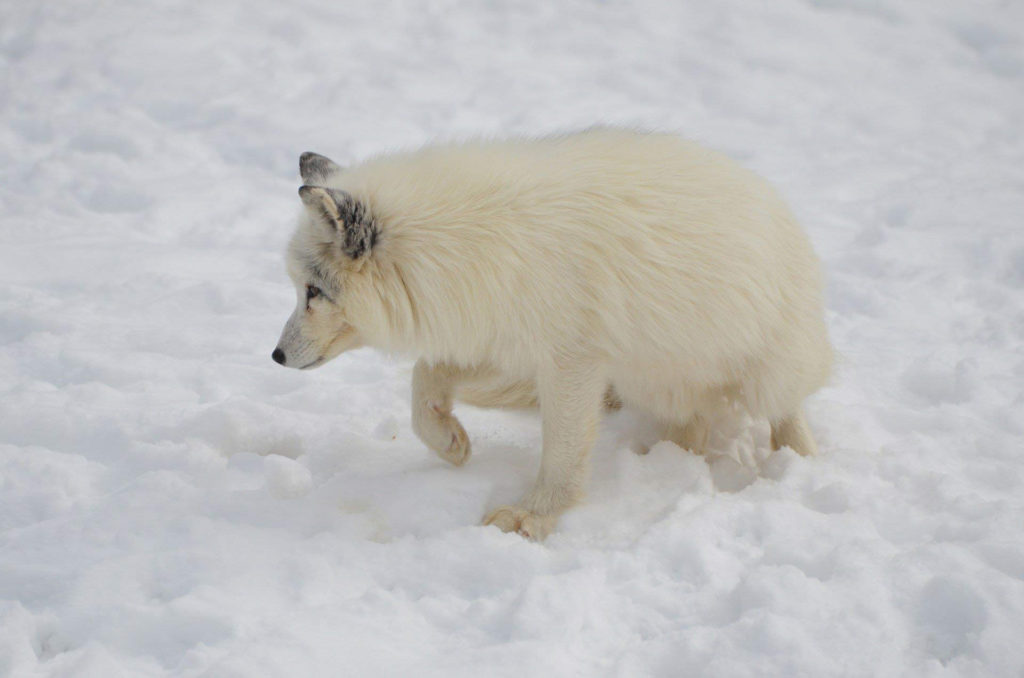 Polarfuchs (Vulpes lagopus, engl. arctic fox) im weißen Winterfell
