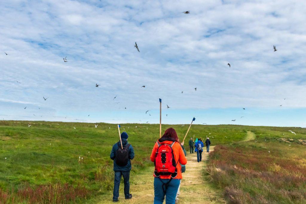 Unterwegs mit Stock - zum Schütz vor den aggressiven Küstenseeschwalben, Insel Vigur, Westfjorde in Island