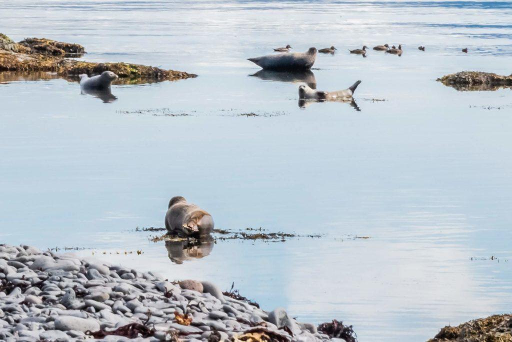 Kleine Robbenpopulation vor der Insel Vigur, Westfjorde
