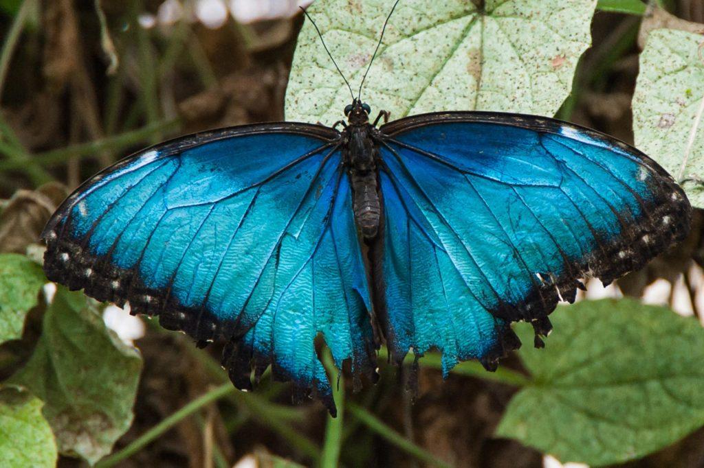 Blauer Morphofalter im Butterfly House