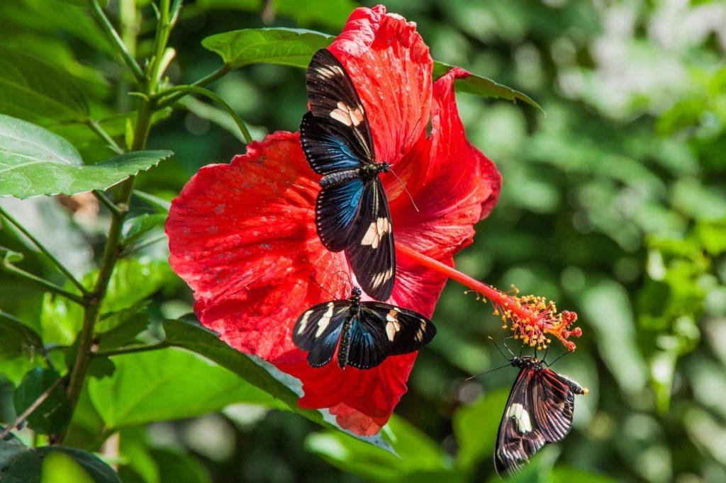 Verschiedene Schmetterlinge auf einer Hibiskusblüte im Butterfly House